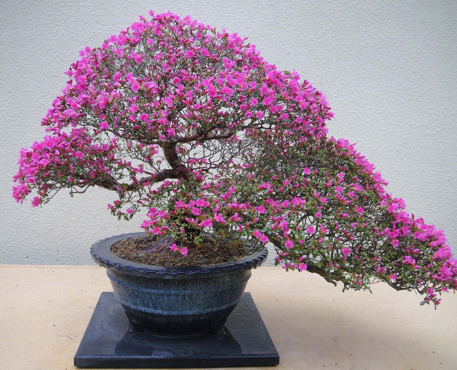 Gardenenvy bonsai in seattle small trees big impact for Azalea bonsai