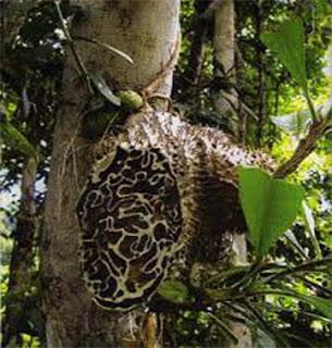 Senyawa Aktif dalam Sarang Semut