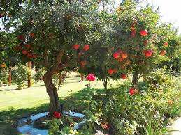 شجر الرمان Pomegranate trees