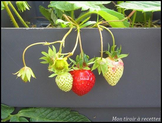 fraisier gariguette