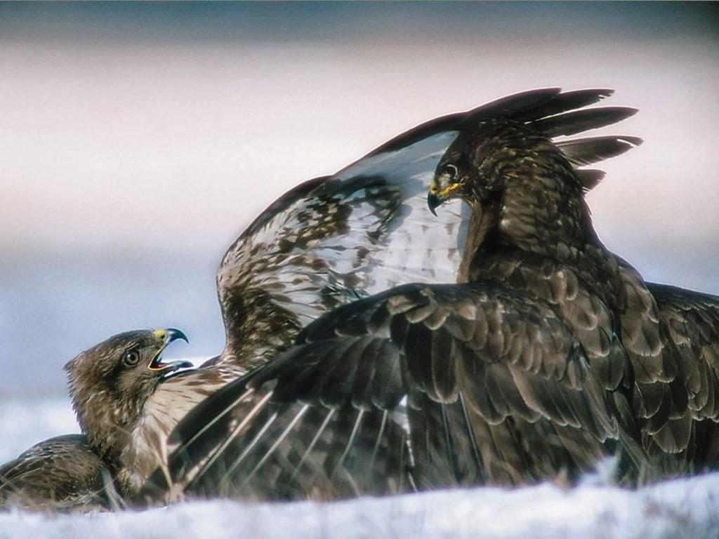 """<img src=""""http://1.bp.blogspot.com/-EznJee9mc40/UtujGcQpl4I/AAAAAAAAI8I/KgLjndjNoAQ/s1600/fighting-eagle.jpeg"""" alt=""""eagle fight"""" />"""