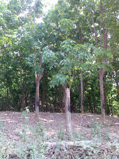 Affect of cyclone on rubber trees