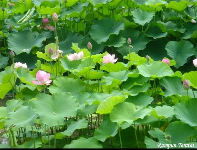 pohon lotus bunga pink