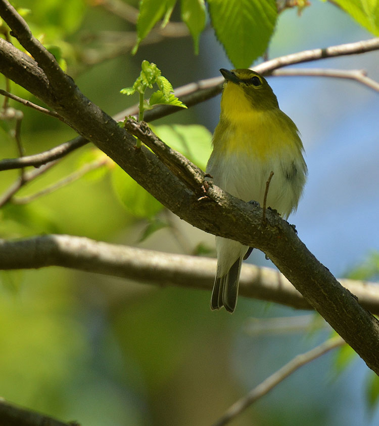 Yellow-throated Vireo during Spring Migration along the Little Miami River river corridor