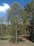 Mesteacănul(Betula alba)