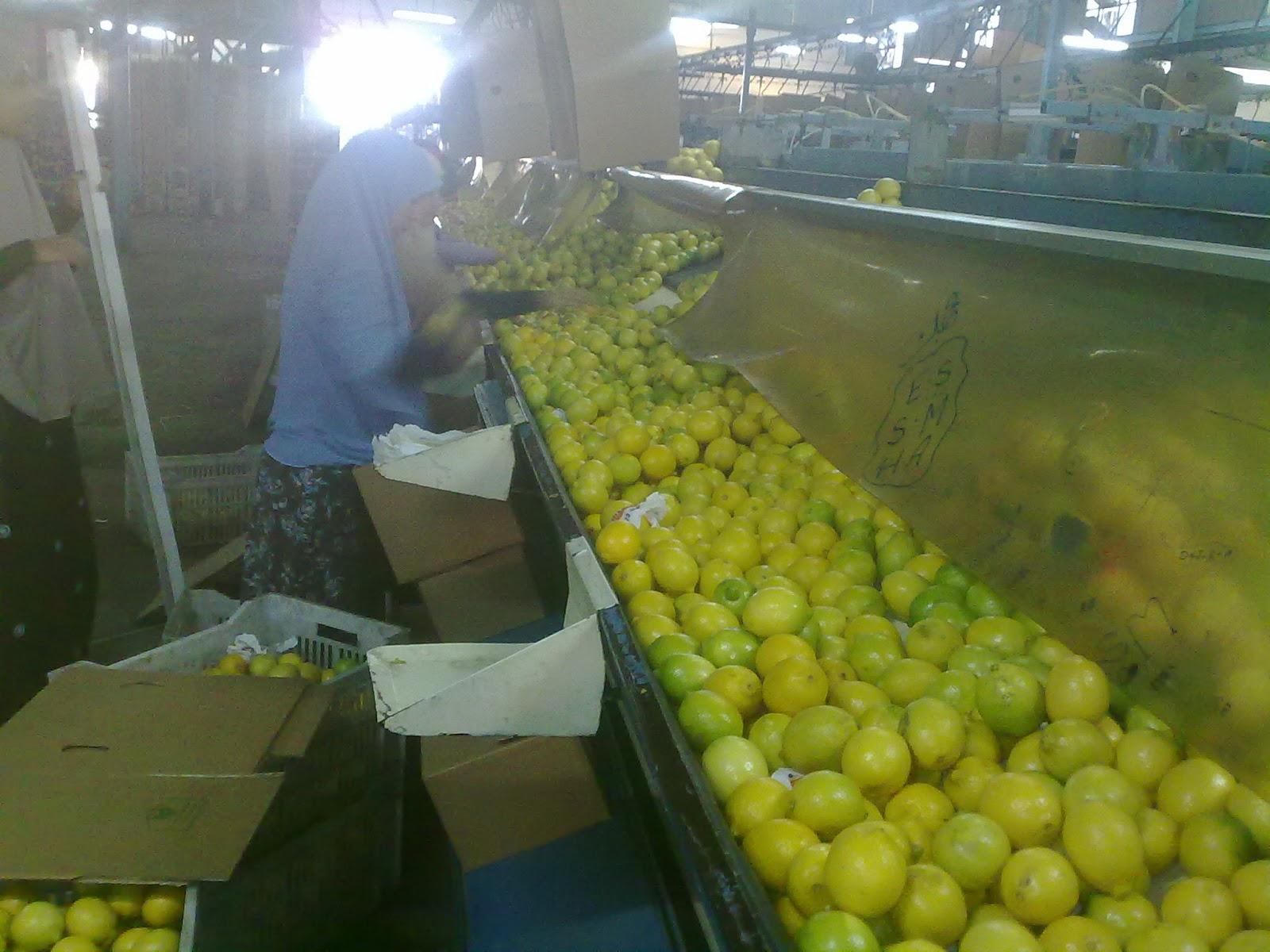 lemon_suppliers_egypt