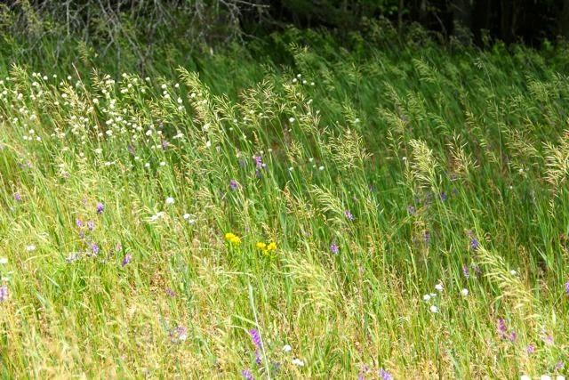 back yard prairie, flowers and grass seed heads