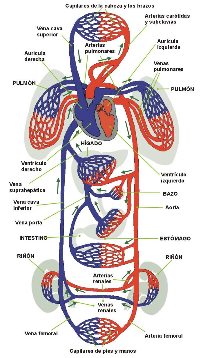 Cuerpo Humano: VENAS Y ARTERIAS