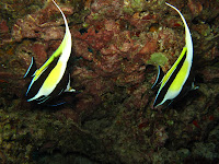 Butterfly fish - Honolulu scuba diving