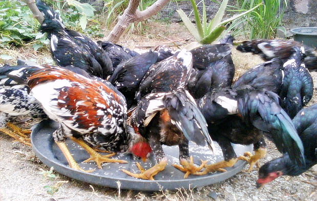 Kandungan Pakan Ayam Bangkok Rahasia Juara