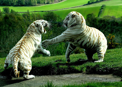 Two white tigers wallpapers