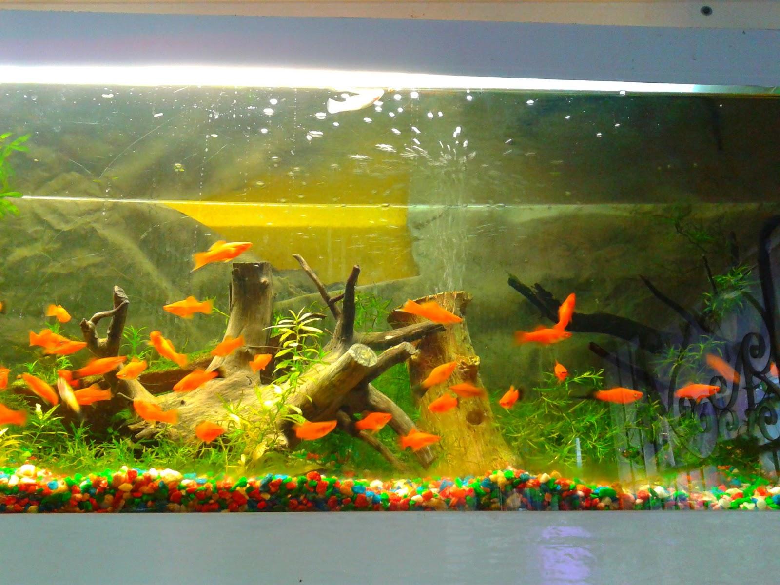 Acuarios decorpez como reconocer los tipos de pecera for Clases de peces de acuario