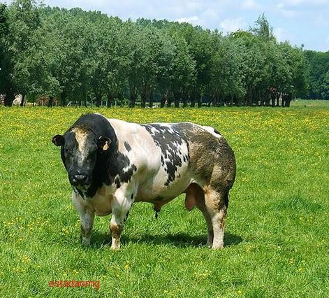 gado -belga- azul