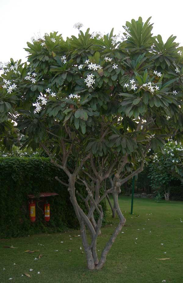 Tukang Taman Minimalis Jual Pohon Anting Putri Yasmin