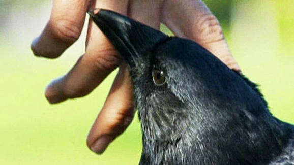 Rescued Crow, Walter, Finds A New Home In Ottawa (VIDEO)