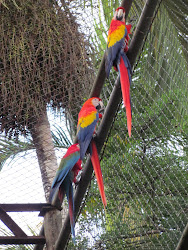 Three Scarlet Macaws, Parque Nacional Summit