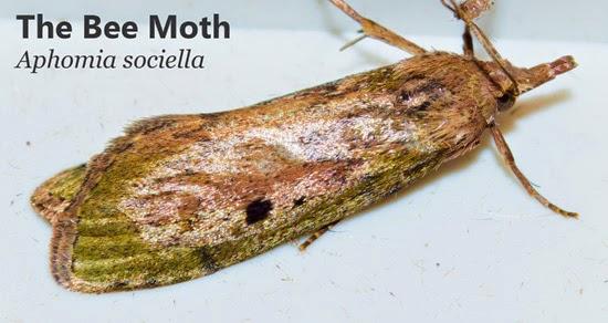 wax and bee moths