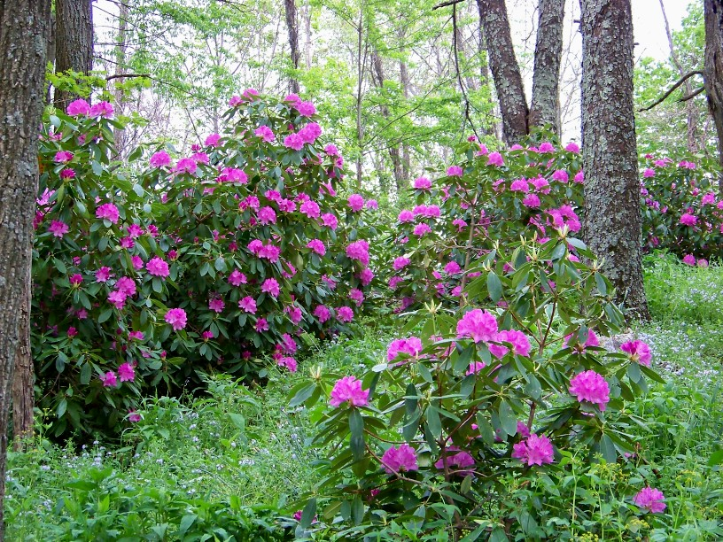Outside clyde rhododendron phacelia and iris for How to care for rhododendrons after blooming