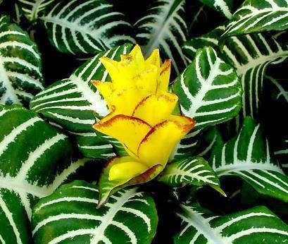 Afelandra afelandra zebra espiga dourada aphelandra for Plantas de adorno interior