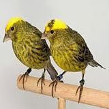 Napak tilas kenari kadal (lizard canary)