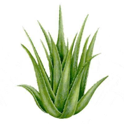 Cara Memutihkan Wajah Dengan Aloe Vera