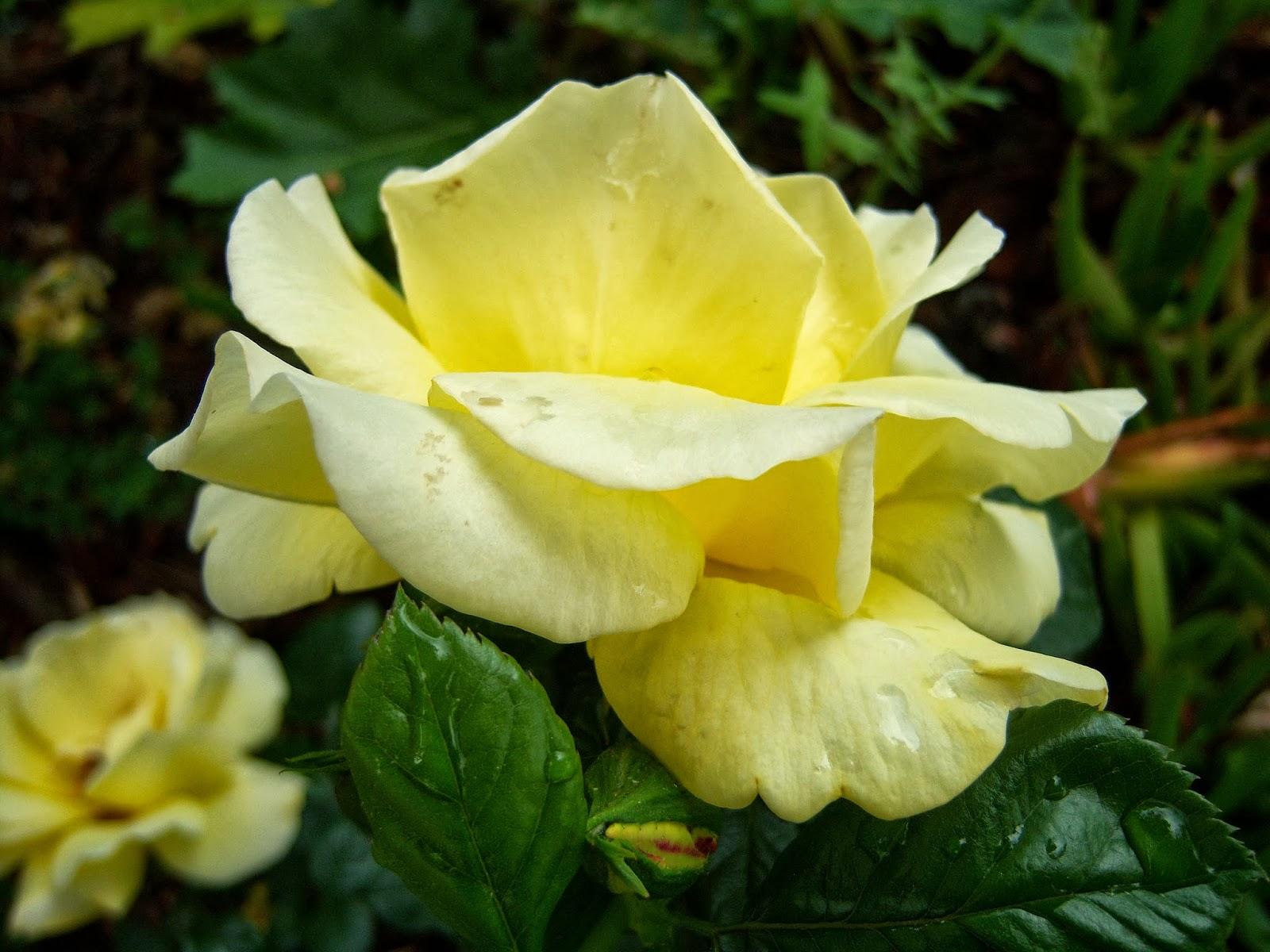 Rosas amarillas bot nic serrat - Significado rosas amarillas ...