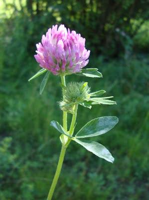 клевер луговой, клевер красный, лекартсвенные травы, лекарственные растения, фитотерапия