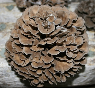 Maitake mushroom has been recognized by herbs researchers that it is health benefits to nourish the body.
