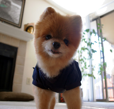 Pomeranian With The Clothes