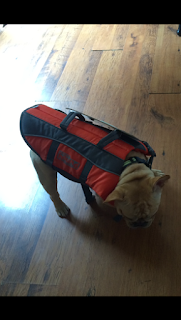 cream french bulldog wears a life jacket to go boating summer safety