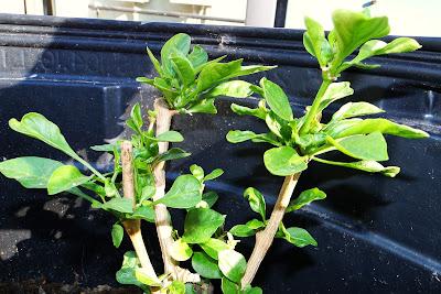 Sweet Heat Pepper plants at Alejandro Farm