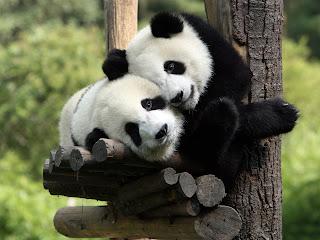 Two Love Panda wallpaper