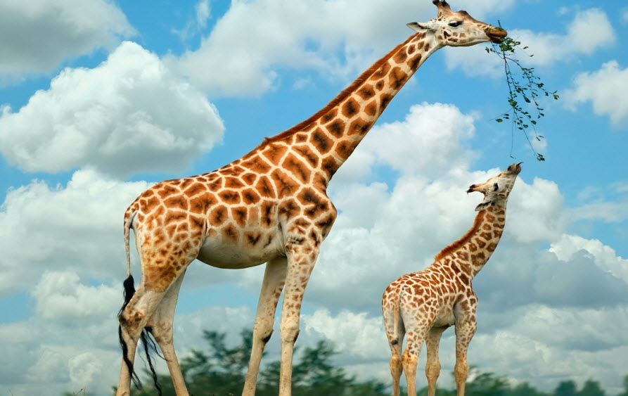 Giraffe M Animal You: Gir...