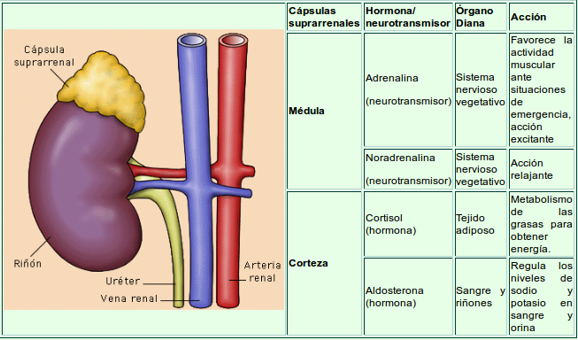 Sistema Endocrino: Glándulas suprarrenales