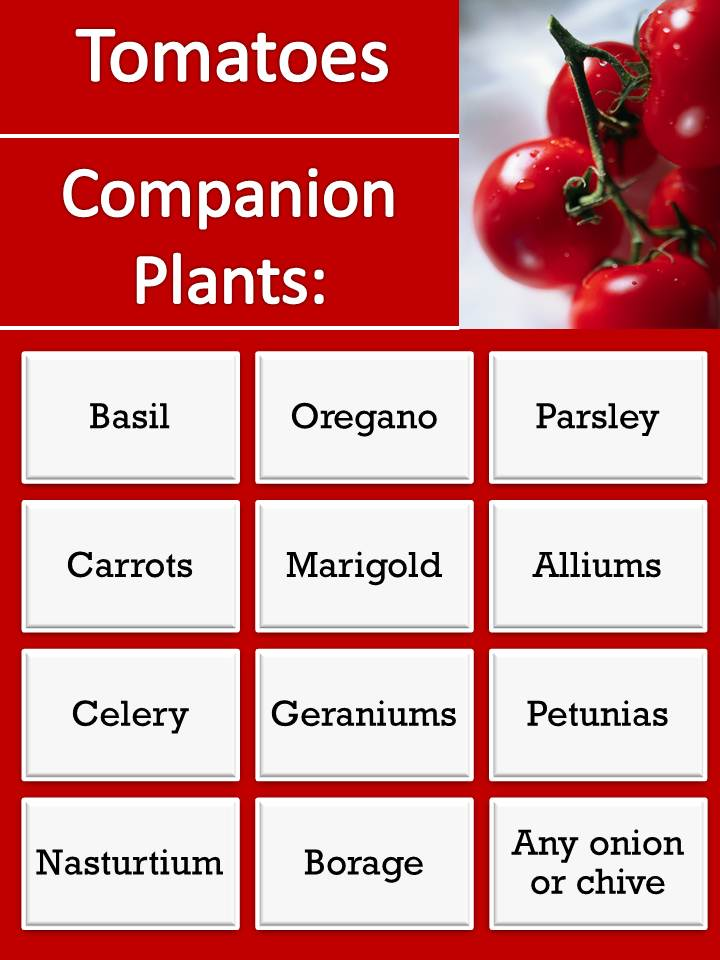 Gardening with red hill companion plants for tomatoes - Companion planting ...