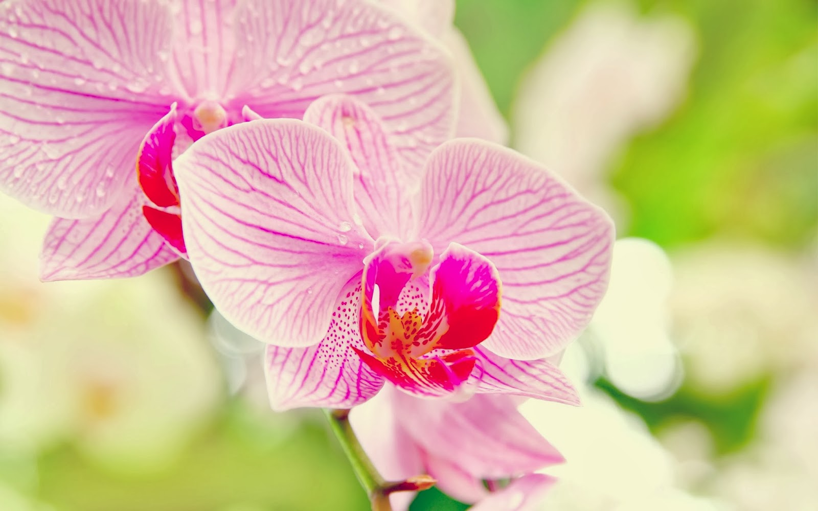 Attractive Pink Orchids Wallpaper