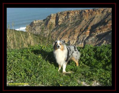 Australian Shepherd in Cabo Espichel