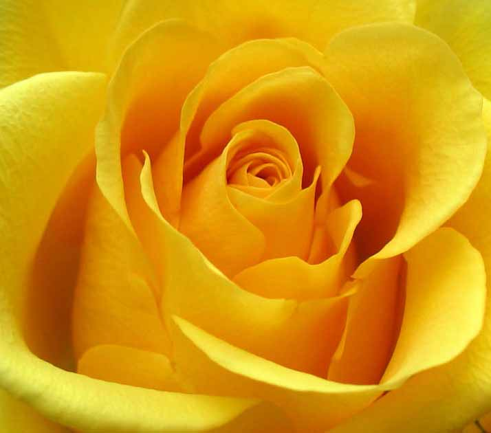 Yellow Roses Symbolic Meaning