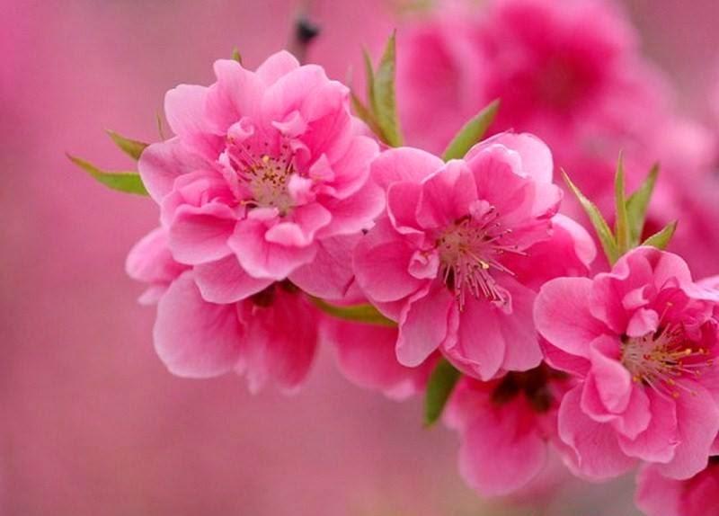 Flores y rboles rbol de chabacano - Arbol de rosas ...