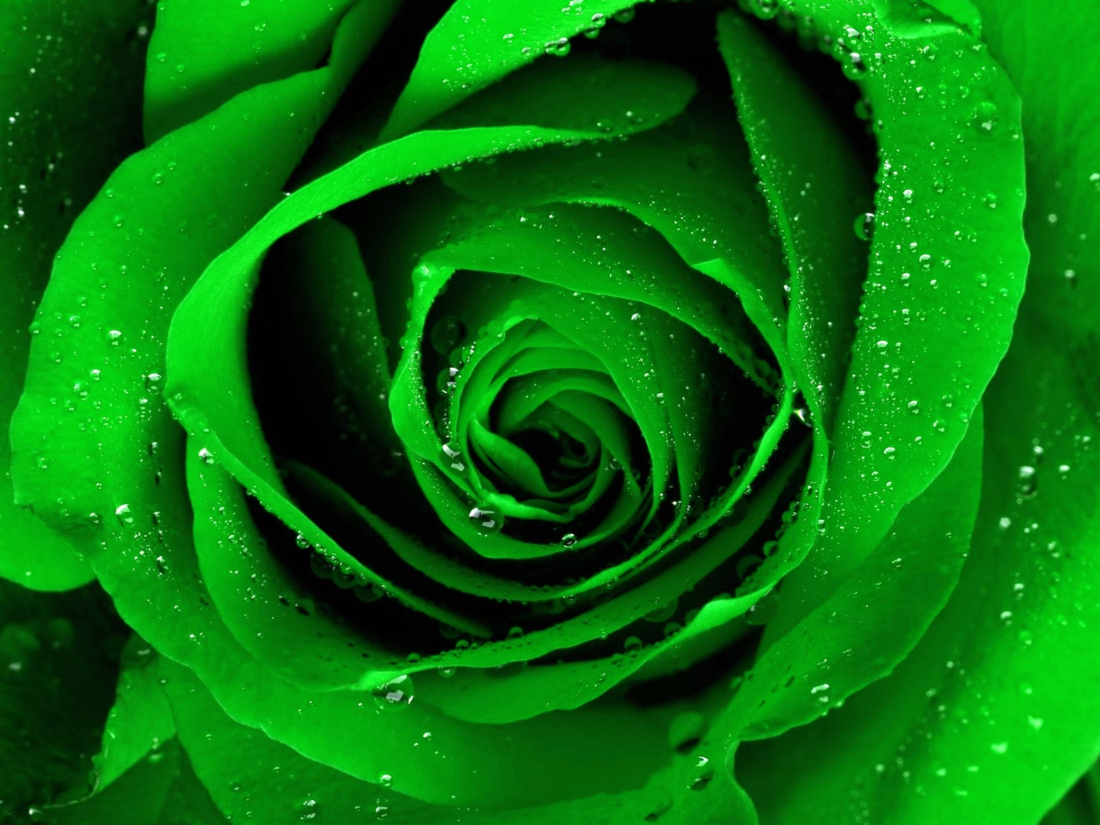 green rose black background - photo #20