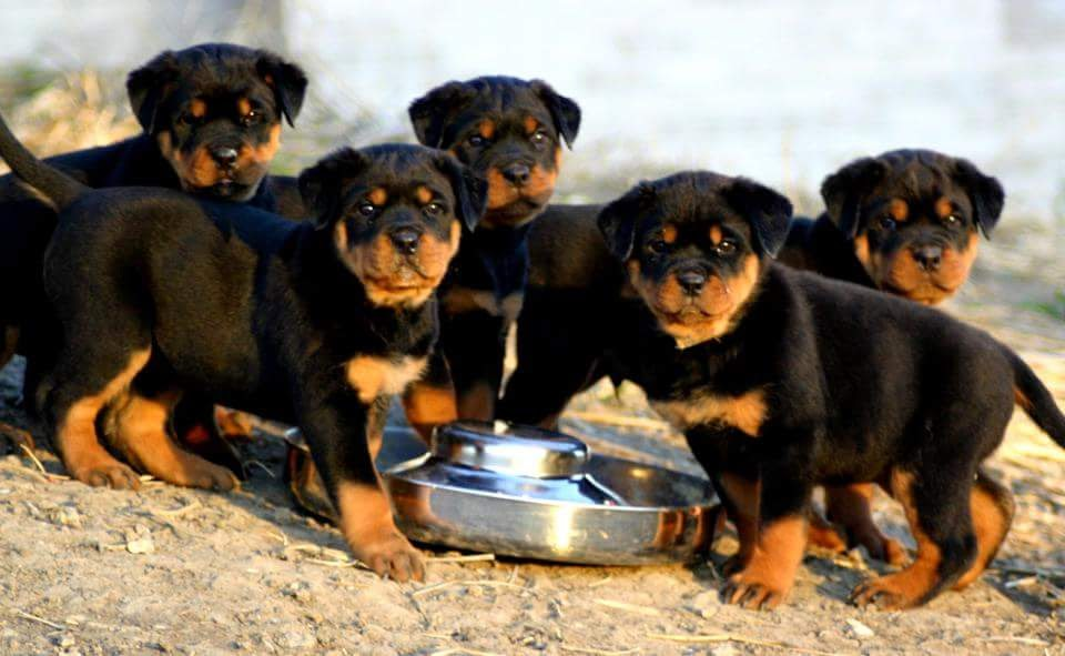 Beautiful Puppies