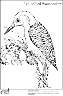 red bellied woodpecker coloring pages