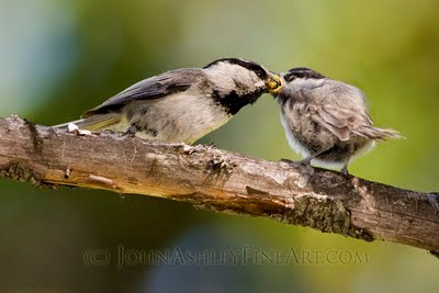 Adult male Mountain Chickadee (left) feeds spiders to his chick who just fledged from the nest 20 minutes earlier (c) John Ashley
