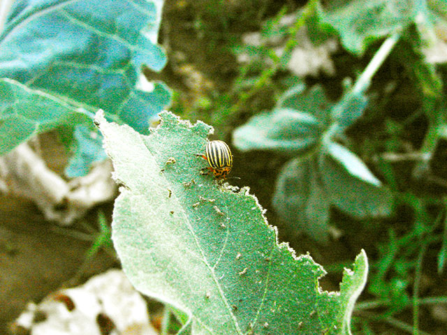 escaravelho beringela
