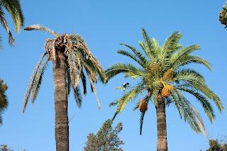 Palmeras afectadas por el 'picudo rojo'. Parque del Retiro (Jerez)