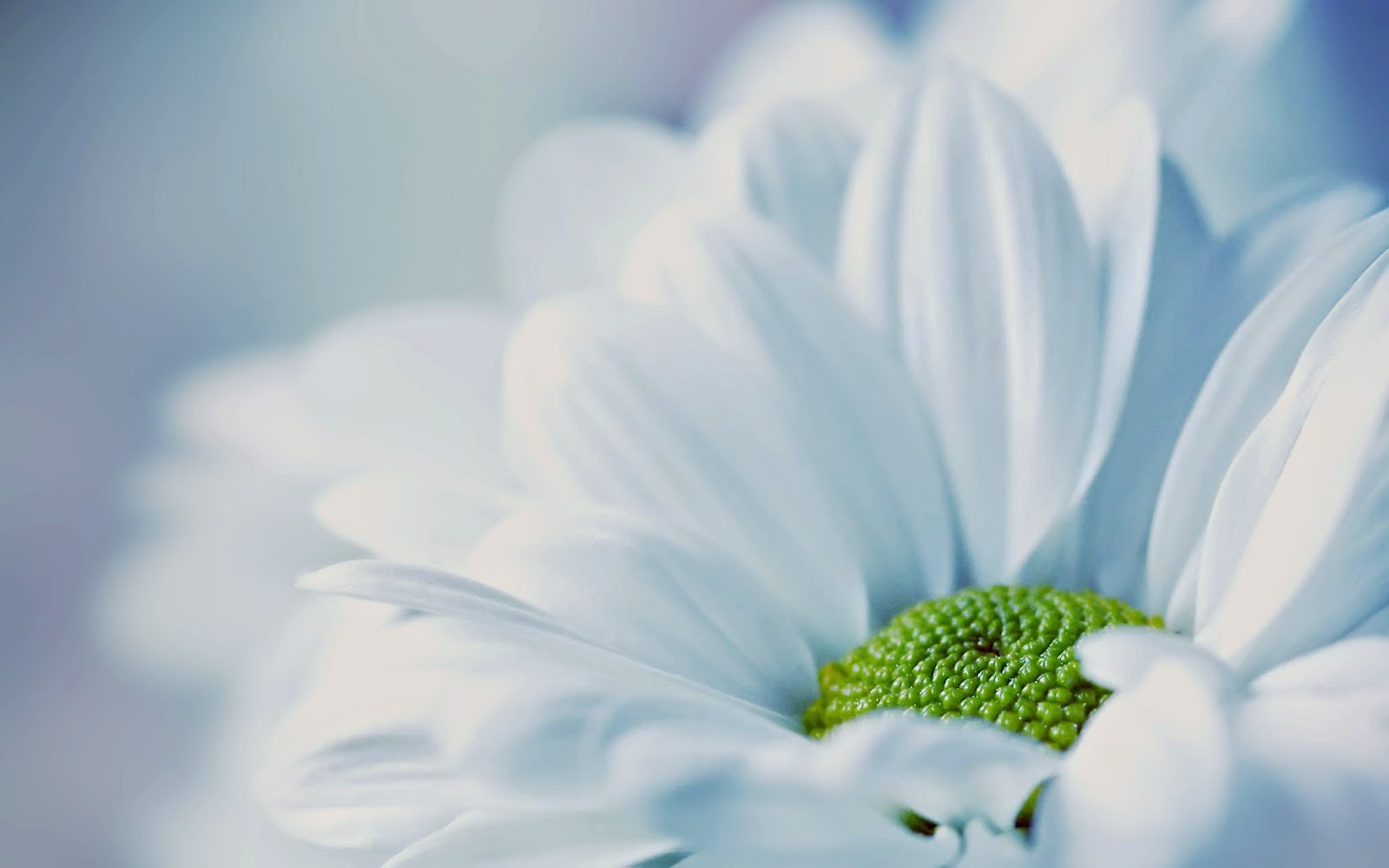 pure-white-daisy-flower-image-HD-free-download.jpg