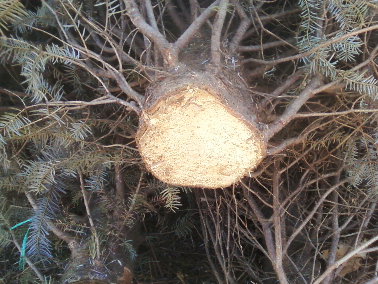 Two Sisters Gardening: Tips to Keep Your Live Christmas Tree Fresh ...