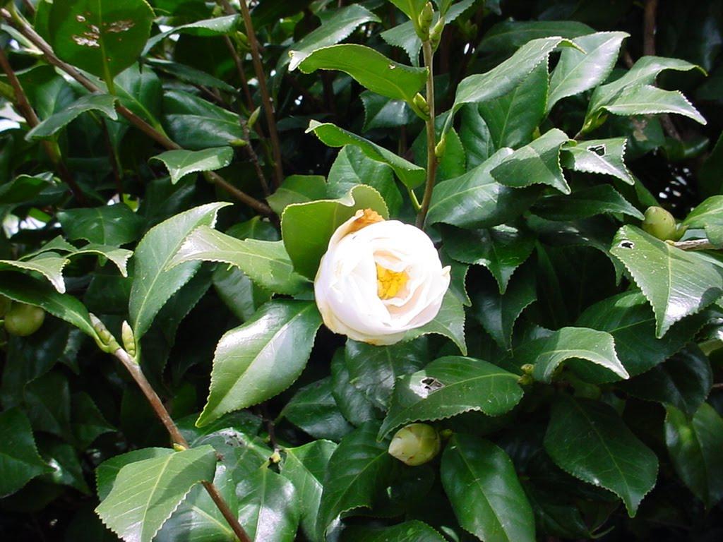 Hero 013 Flower White Japanese Camellia 05 Common