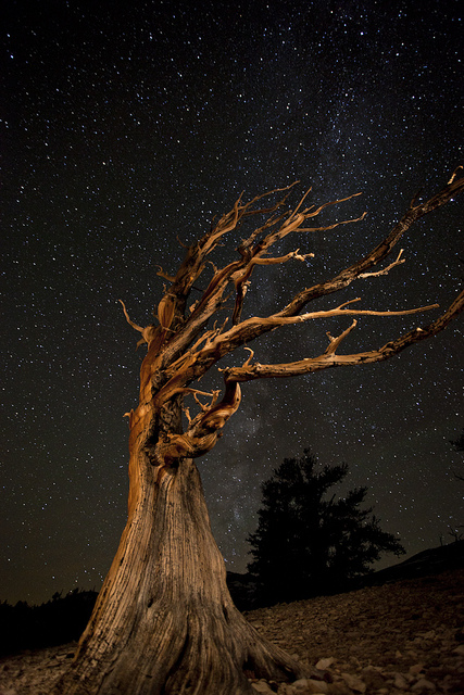 عينات '' لاقدم شجرة'' في العالم بالصور 9_bristlecone-night