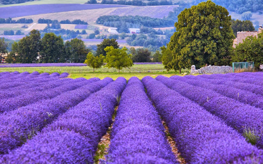 Lavender fields, Provence Bright-striped lavender fields are one of Provence's key sights in the summer, before the harvest. The ripples of colour mark out the contours of the region's gently undulating hills and are much photographed by eager tourists. Provence travel guide